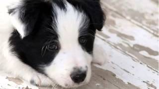Download Border Collie Puppies | Cute Dogs And Puppies Picture Collection Video