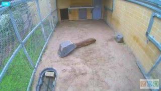 Download Jacksonville Zoo Tiger Cubs Nursery Den Video