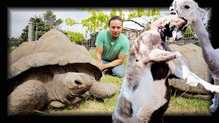 Download When Goats Attack : GIANT TORTOISES!! Video