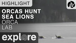 Download Orcas Hunting Stellar Sea Lions - Orca Lab - Live Cam Highlight Video