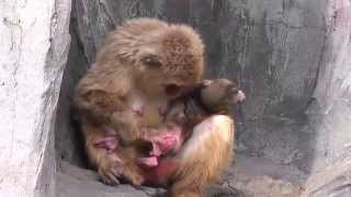 Download Baby Monkey 12days old. ニホンザルの赤ちゃん(生後12日目)②(釧路動物園) Video