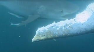 Download Un requin attaque et mange une baleine bleue vivante Video