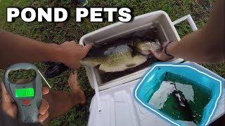 Download BIGGEST Largemouth Bass Pond Pet EVER! *REVENGE of THUMP* Video