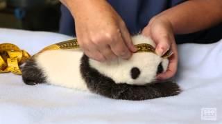 Download Giant Panda Cub Exam Video
