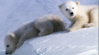 Download Cool Cute Cubs! | Amazing Animal Babies: Polar Bears | Earth Unplugged Video