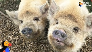 Download Pigs Are So Grateful Their Mom Saved Them: Happy National Pig Day | The Dodo Video