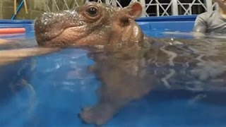 Download Premature Baby Hippo Goes for a Swim Video