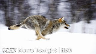 Download The War Between Cattle Ranchers And Conservationists Over Wolves (HBO) Video