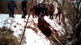 Download В Харьковской области всем селом спасали лося - 15.12.2016 Video