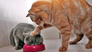 Download 「かわいい猫」 笑わないようにしようとしてください - 最も面白い猫の映画 #266 Video