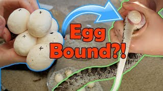 Download Incubating Bullsnake Eggs- My Worst Experience Ever Video