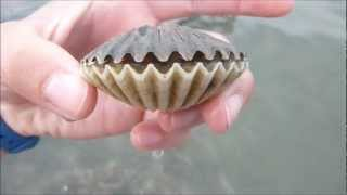 Download Scallop flipping over! Video