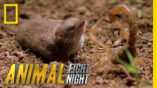 Download Psycho Shrew vs. Scorpion | Animal Fight Night Video