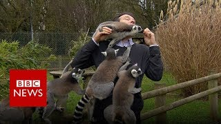 Download BBC reporter mobbed by lemurs - BBC News Video