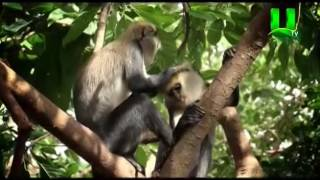 Download Special Report: Boabeng - Fiema Monkey Sanctuary Video