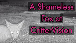 Download Cheeky little fox at CritterVision Video