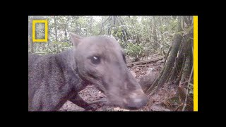Download See an Extremely Rare Jungle Dog | National Geographic Video