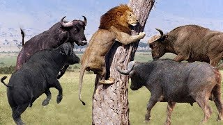 Download LIVE: Discovery Wild Animals - Moments Lion Are Defeated By Buffalo - Wild Animal Documentary 2019 Video