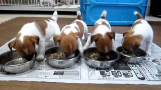 Download 子犬の朝の食事風景 Video