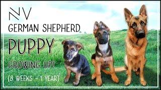 Download German Shepherd Puppy Growing Up (8 Weeks - 1 Year)   NerdVlog Video