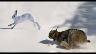 Download Epic Hunting Chase of the Canadian Lynx and Snowshoe Hare in HD Video