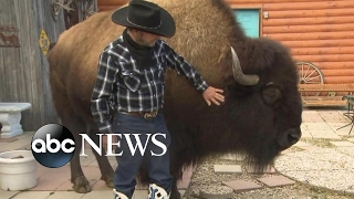 Download Family lives with a Bison called 'Wild Thing' inside their house Video
