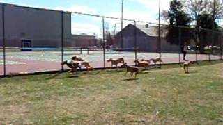 Download Greyhounds at the Acton Dog Park Video