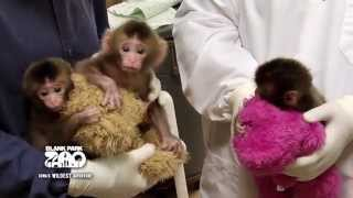 Download Blank Park Zoo Welcomes Three Macaque Babies Video