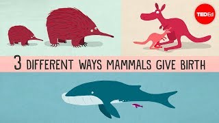 Download The three different ways mammals give birth - Kate Slabosky Video