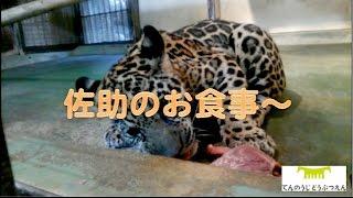 Download 佐助のお食事〜161201 Video