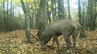 Download ,,Jesienny żer Byków'' Video