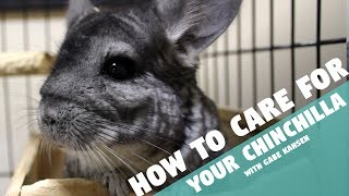 Download How to Care for Your Chinchilla Video
