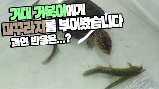 Download 거대 거북이에게 ″생 미꾸라지″를 들이부었습니다. 거북이의 흉폭함은? Video