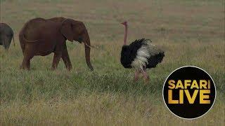 Download safariLIVE - Sunset Safari - August 26, 2018 Video