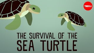 Download The Survival of the Sea Turtle Video