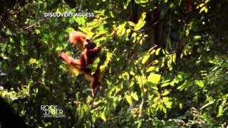 Download Orangutan dying as demand for palm oil soars | NBC Rock Center Video