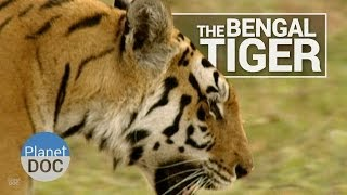 Download Bengal Tiger | Wild Animals - Planet Doc Full Documentaries Video