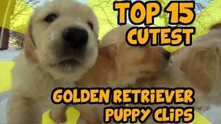 Download TOP 15 OF THE CUTEST GOLDEN RETRIEVER PUPPY VIDEOS OF ALL TIME Video