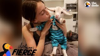 Download Baby Goat Is Pretty Sure He's A Dog | The Dodo Little But Fierce Video