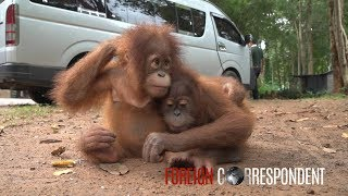 Download Saving Baby Orangutans From Smuggling | Foreign Correspondent Video