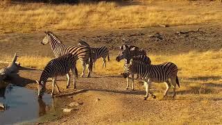 Download Djuma: Zebras - 15:56 - 07/16/19 Video