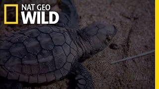 Download Baby Turtle Swimming Frenzy   Nat Geo Wild Video