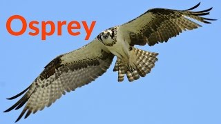Download Osprey: The Beautiful Flight of the Osprey Bird of Prey Hunting Their Favorite Fish Video