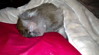 Download Sleepy Monkey wakes up for a quick drink Video