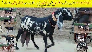 Download 38 | Goat Farming in Pakistan/India | ذیادہ دودھ دینے والی بکری کی نسلیں | بکری کون سی نسل پالی جاۓ Video