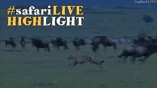 Download 5 Musketeers Take Down Baby Tommy in the Maasai Mara! Video