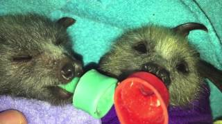 Download Baby bats go into milk comas after a feed Video