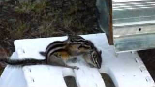 Download Mama chipmunk trying to put her baby to bed Video