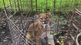 Download Q & A with Brittany at Big Cat Rescue 09202018 Video