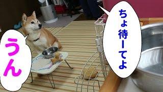 Download 柴犬小春 00:55朝食時、飼い主の「ちょ待ーてよ」に「うん」と返事!TALKING DOG Video